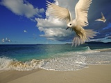 Fairy Tern at Cousine Island Beach Photographic Print by Martin Harvey