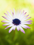 Aster Photographic Print by Angela Drury