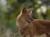 Dhole in Bandhavgarh National Park Photographic Print by Andrew Parkinson