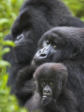 Mountain Gorilla Family Group Photographic Print by Andy Rouse