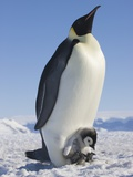 Emperor Penguin Holding Chick on Feet Photographic Print by Keren Su