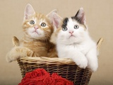 Two Kittens in a Basket Photographic Print by Frank Lukasseck
