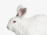 White Bunny Rabbit Photographic Print