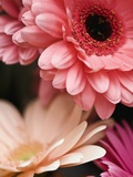 Gerber daisies Photographic Print by Angela Drury