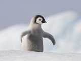 Emperor Penguin Chick in Antarctica Photographic Print by Paul Souders
