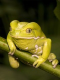 Monkey Tree Frog on Branch Photographic Print by Joe McDonald