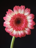 Gerbera Daisy on Dark Background Photographic Print by Clive Nichols