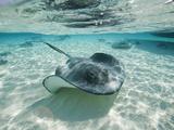 Raies du Sud nageant, Stingray City, Îles Cayman, CaraÏbes Papier Photo par Paul Souders