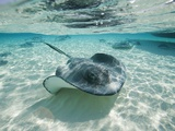 Southern Stingrays Swimming at Stingray City Stampa fotografica di Paul Souders