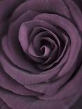 Deep Purple Rose Fotografisk tryk af Clive Nichols