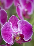 Rare, beautiful orchids bloom in a Florida garden Photographic Print by Dana Hoff