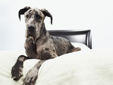 Great Dane on bed Photographic Print