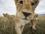 Lion Cubs in Masai Mara Game Reserve, Kenya Photographic Print by Paul Souders