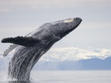 Humpback Whale Breaching in Frederick Sound Photographic Print by Paul Souders