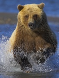 Grizzly Bear Running Photographic Print by Andy Rouse