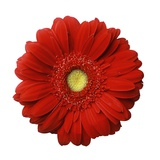 Red Gerbera Daisy Photographic Print