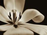 Inside of a Tulip Photographie par Tom Marks