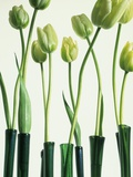 Green Tulips in Vases Photographic Print by Cora Buttenbender