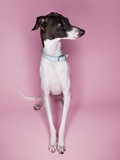 Italian Greyhound Photographic Print by Randy M. Ury