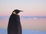 Emperor Penguin on Pack Ice Photographic Print by Keren Su