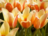 Tulips Photographic Print by Craig Tuttle