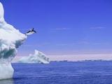 Adelie Penguin Jumping From Iceberg Fotografie-Druck