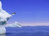 Adelie Penguin Jumping From Iceberg Photographic Print