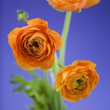 Orange Ranunculus Flowers Photographic Print by Clive Nichols