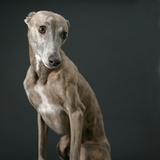 Whippet Photographic Print by Parque