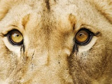 Close-Up of a Lioness Photographic Print by Martin Harvey