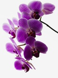 Phalaenopsis Orchids Photographic Print
