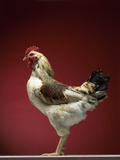 Rooster Photographic Print by Adrianna Williams