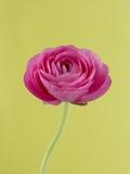 Peonía rosa Lámina fotográfica por Clive Nichols