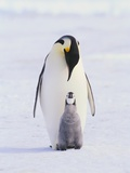Emperor Penguin and Baby Photographic Print
