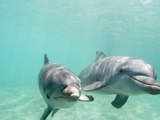 Bottlenose Dolphins Photographic Print by Stuart Westmorland