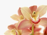 Salmon-Pink Orchid Blossoms Photographic Print by Larry Dale Gordon