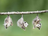 Baby Opossum Hanging from Branch Photographie par Frank Lukasseck