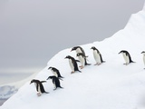Penguins Walking to Edge of Iceberg Photographie par John Eastcott & Yva Momatiuk