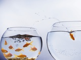 Goldfish Jumping into Different Bowl Photographic Print by Paul Hardy
