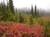 Fall Colors and Evergreen Trees in the Fog Photographic Print by Craig Tuttle