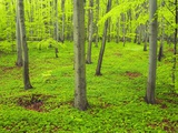 Beech Forest Photographic Print by Frank Krahmer