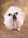Bulldog Wearing Tutu Photographic Print by Peter M. Fisher