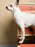 Chihuahua on a chest of drawers Photographic Print