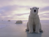 Osos polares Lámina fotográfica por Kennan Ward