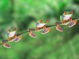Red-Eyed Tree Frogs on Branch Photographic Print