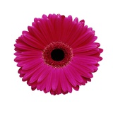 Hot Pink Gerbera Daisy Photographic Print