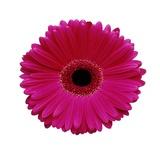 Hot Pink Gerbera Daisy Photographic Print