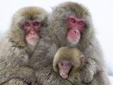 Japanese Macaque Family Reprodukcja zdjęcia autor Frank Lukasseck