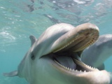 Bottlenose Dolphin Opening Mouth Photographic Print by Stuart Westmorland