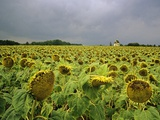 Field of Sunflowers Photographic Print by Kurt Stier